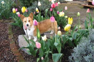 Teddy & tulips 1 April 2008