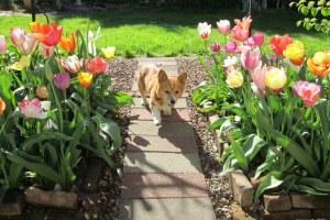 Cleo's tulip parade 041414